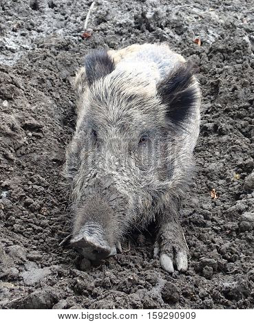 A wild boar sitting on mud alone