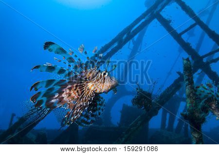 Lionfish, Pterois volitans, of shipwreck Zabargad Island called Maidan, Red Sea, Egypt.