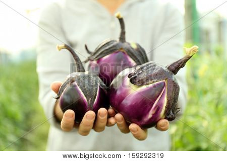 Hands holding fresh eggplants in the vegetable garden