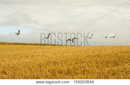 Flock Of Wild Geese Flying Over The Golden Wheat Field