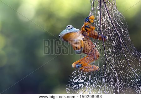 Tree frog, Javan tree frog on the twig