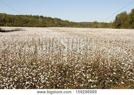 Rural Cotton Field