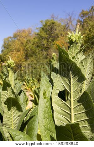 Field Of Tobacco In Tennessee
