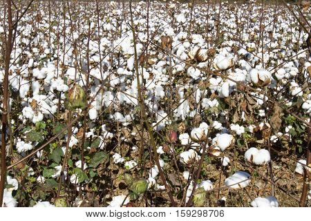 Field Of Mature Cotton