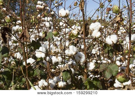 Cotton Plants With Balls