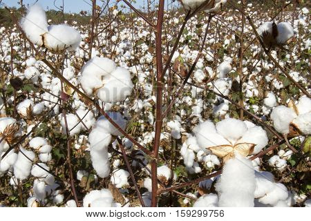 Close Up Of Cotton In Field