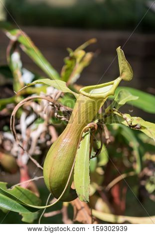 Close up nepenthes tropical pitcher plants or monkey cups in forest.