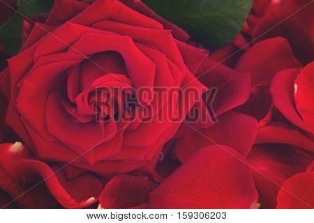 fresh red rose with petals close up, retro toned