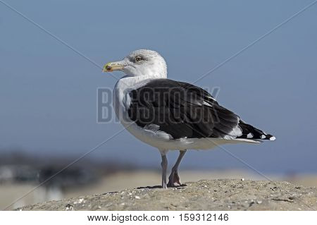 Great Black-backed gull, gull, bird, wings, bill, bulky, heavy, flight, nature, environment, wildlife, dune, sand, beach, ocean, landscape, sea, coast, shoreline, seashore, feathers, seascape, seabird,
