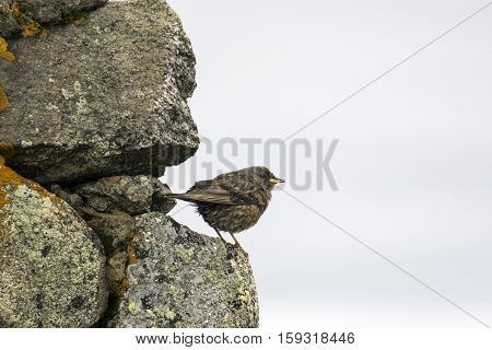 Sparrow on the rock. The Tatra Mountains