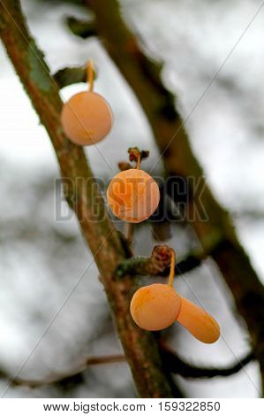 Ginkgo bilboa fruits on the branche. Shallow focus winter background.