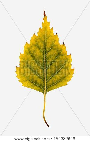 Close-up Photograph Of A Withering Autumnal Birch Tree Leaf Isolated On White Background