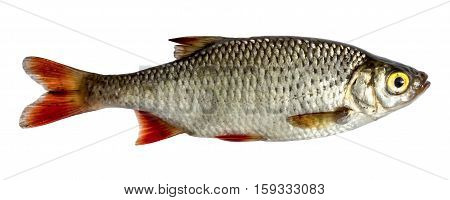 Isolated rudd a kind of fish from the side. Live fish with flowing fins. River fish