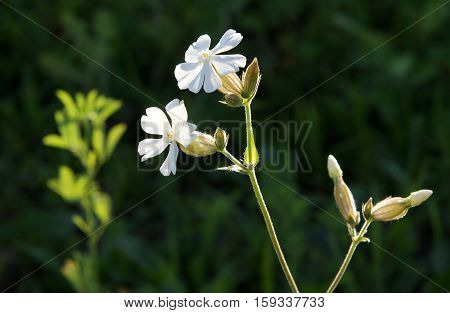 Bladder campion (Silene vulgaris) fresh white flowers