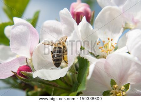 Hardworking bee during spring time in the garden.