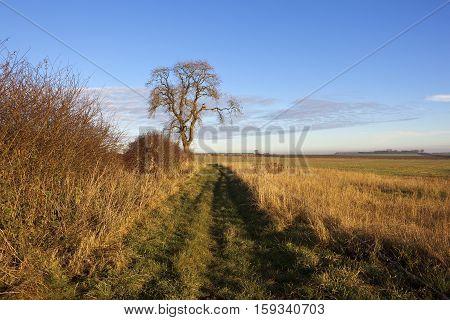 Ash Tree And Footpath