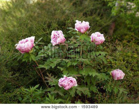 Planta de Rosa peonía
