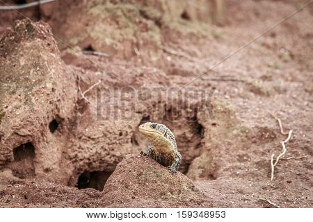 Plated Lizard On A Termite Mount.