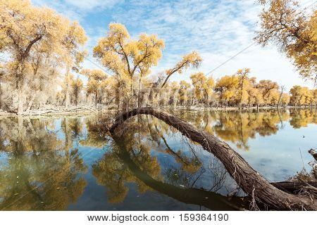 reflection of yellow trees in lake in autumn