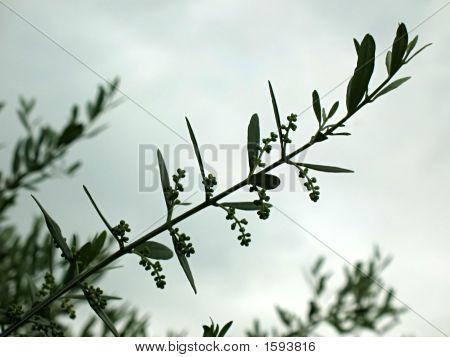Olive Branch 1 I