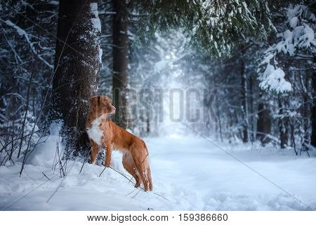 Dog Outdoors In Christmas Trees, Winter Mood
