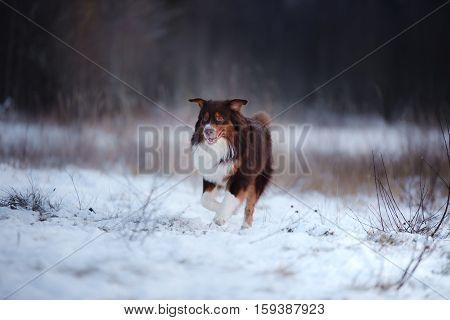 Australian Shepherd dog brown color in nature