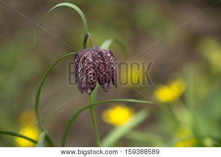 Snake's Head Fritillary (Fritillaria meleagris) flowering in an Arboretum