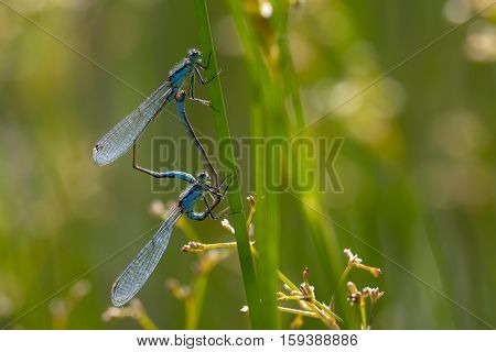 Blue-tailed Damselfly (Ischnura elegans) Mating Wheel on Soft Rush (Juncus effusus) Stem