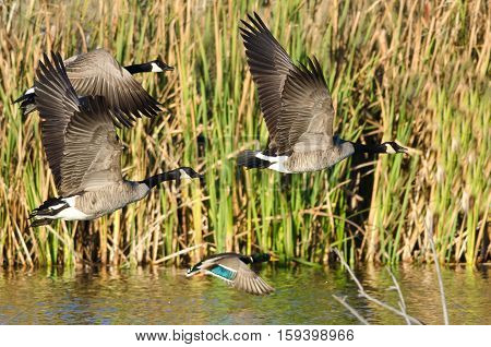 Three Canada Geese and Mallard Duck Flying Low Over the Autumn Pond