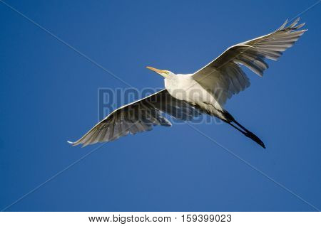 White Great Egret Flying in Blue Sky