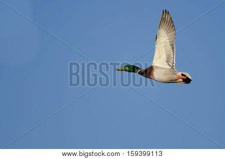 Mallard Duck Flying in a Blue Sky