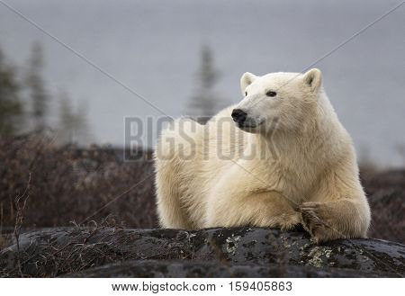 Polar bear, close up, resting on a boulder.  Autumn in Churchill, Manitoba, Canada.