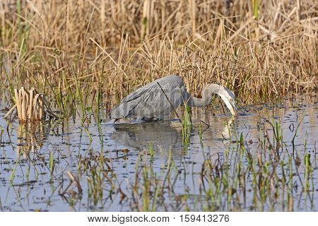 Great Blue Heron Searching for Prey in the Cameron Prairie National Wildlife Refuge in Louisiana
