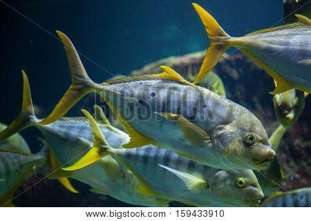 Golden trevally (Gnathanodon speciosus), also known as the golden kingfish.