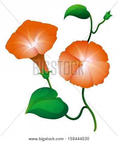 Two morning glory flower in orange color illustration