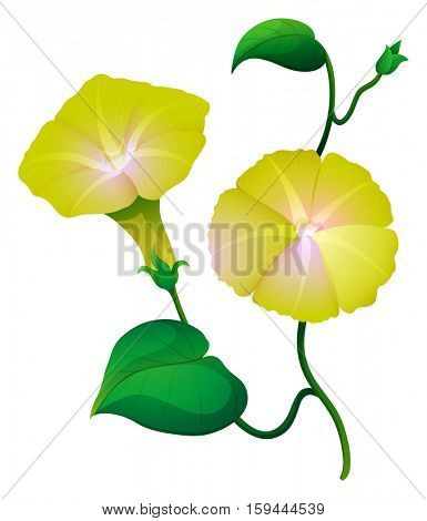 Morning glory flower in yellow color illustration