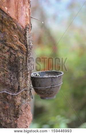 Cup water to vice latex from rubber tree.
