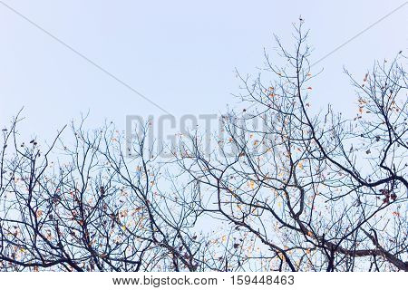 Branches of oak (Quercus mongolica) with leaves on a blue sky background in autumn