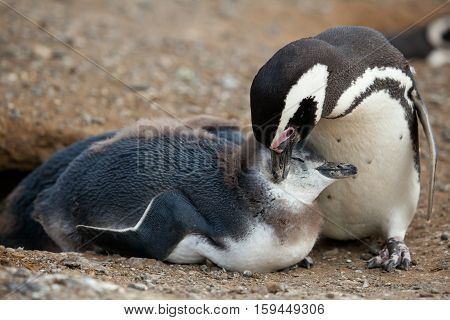 Mother And Baby. Magellanic Penguin With Its Nestling