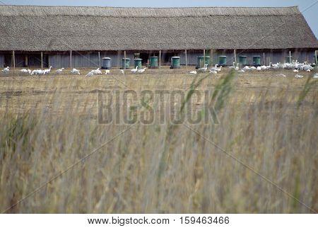 Geese Breeding In Hungary