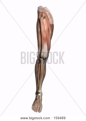 Anatomy A Leg, Transparant With Skeleton.