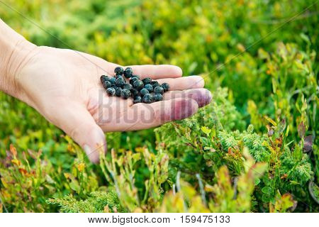 Hand Full Of Wild Bilberries