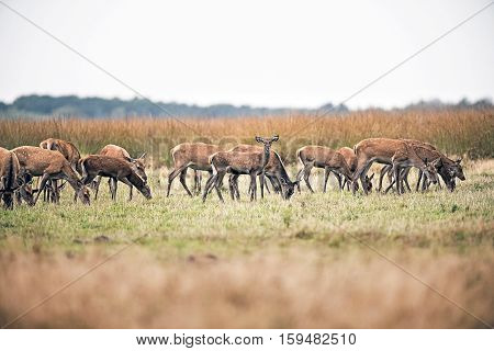 Herd Of Hinds Standing In Field. National Park Hoge Veluwe. The Netherlands.