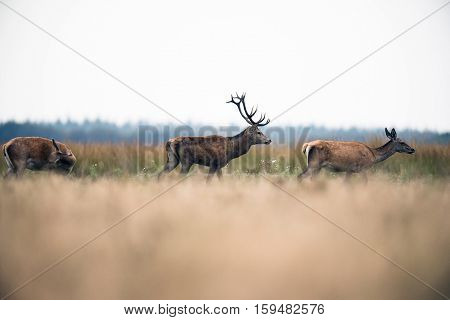 Red Deer Stag Walking In Field Between Hinds During Rutting Season. National Park Hoge Veluwe. The N