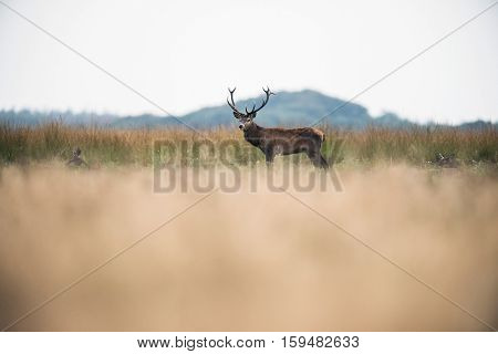 Male Red Deer Standing In High Grass. National Park Hoge Veluwe. The Netherlands.
