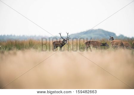 Red Deer Stag In Rutting Season Chasing Hinds. National Park Hoge Veluwe. The Netherlands.