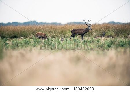 Red Deer Stag Standing In Field Between Hinds During Rutting Season. National Park Hoge Veluwe. The