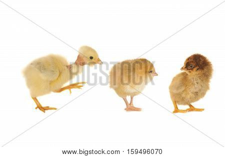 three chicks isoleted on a white background