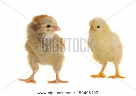 two chicks isoleted on a white background