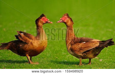 two big ducks on a green background